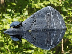 Rock island (Rev.Gregory) Tags: reflection pond turtle olympus salem 75300mm gregory paintedturtle greenlawncemetery vozzo sunturtle