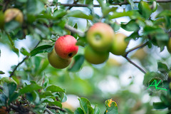 Apples - 500mm Comparison (Andreas Krappweis - thanks for 1,9 million views!) Tags: apples 500mm sonyalpha850 sigmaapo45500mm