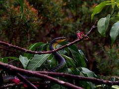 20131130_14171120131130_660 (nickhcliff) Tags: tree green garden flowering eden treesnake punctulata melicope dendrelaphis