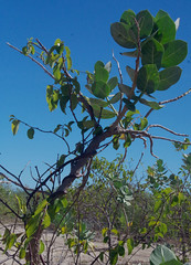 Cryptostegia grandiflora on Calotropis procera, Karumba Pt, QLD, 11/06/14 (Russell Cumming) Tags: plant weed queensland apocynaceae normanton cryptostegia calotropisprocera calotropis cryptostegiagrandiflora karumbapt