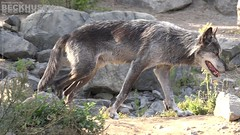 Eastern Timber Wolf (C0071i) (Stefan Beckhusen) Tags: trees summer color nature closeup wolf rocks day wildlife rocky sunny pride hills pack graywolf wolves canislupus graywolves easterntimberwolf easternwolf algonquinwolf deerwolf easterntimberwolves easternwolves greatlakeswolf