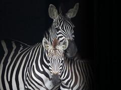 Zebre (Dory32) Tags: