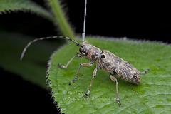 Epepeotes sp.? IMG_0788 copy (Kurt (orionmystery.blogspot.com)) Tags: beetle coleoptera longhornbeetle cerambycidae longhornedbeetle cerambycid coleopteran tropicalbeetles