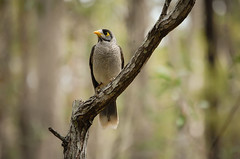 Noisy Miner (Meteor) Tags: tree bird forest branch perch bushwalk miner