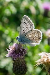 Lycenidae (Miguel Ángel Jiménez) Tags: miguel butterfly catalonia lepidoptera card catalunya lepidopter cataluña pirineo cardo ángel pirineu jiménez lepidoptero licenido lycenidae licenid