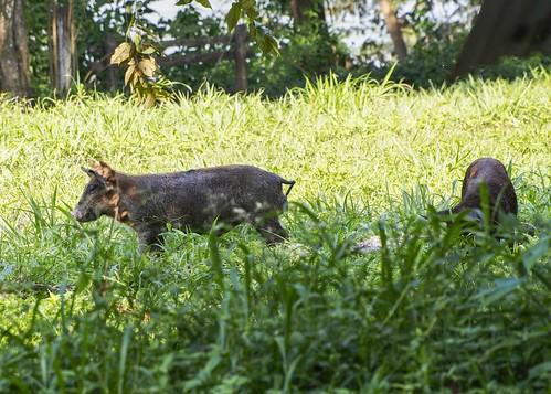 Pigs B271230Pr