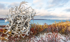 Antler Pile (Sean Pinn Photo) Tags: autumn sunset fall water yellow nt nwt antlers pile northwestterritories tundra warmlake pointlake petersonspointlakelodge