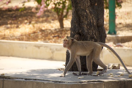 Wild Monkey in Petchaburi, Thailand