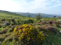 P1010343 (jrcollman) Tags: plants places devon dartmoor houndtor ulexgallii pplant eplant ericacinerea pteridiumaquilinumbracken haytortohoundtor