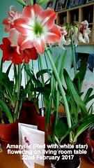 Amaryllis (Red with white star) flowering on living room table 22nd February 2017 (D@viD_2.011) Tags: amaryllis red with white star flowering living room table 22nd february 2017