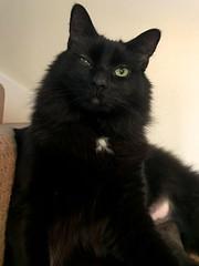 Jet Li eye problem (Hockey.Lover) Tags: jetli cats kittens vet eyeproblem