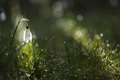 A snowdrop, waterdrops and bubbles dancing into spring (nikjanssen) Tags: bokeh drops grass light spring vintagelenses helios442 explore