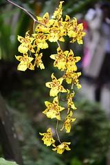 Taoyuan_20140202_008_KML3391 (Kevin Meng-Ju Liu) Tags: 2014 spring february flower tulip taoyuan 台灣 桃園 桃源仙谷 nikon d800 nikkor 28300mmf3556gvr