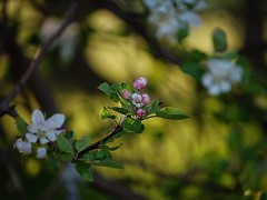 Apple blossoms (halifaxlight (back in March)) Tags: pink white canada green yellow novascotia bokeh branches blossoms appletrees indianpoint beyondbokeh