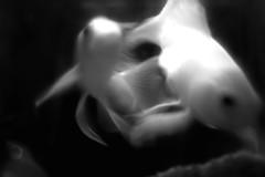 IMG11562 (liotard) Tags: blackandwhite bw fish black macro sigma bn filter pesci m42 koi sd10 bianco acquario bianconero luce biancoenero carpa foveon 2870 sigmasd10 bwbn kinokirion