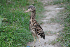 Rescued Chick (Saleh Reza) Tags: bird ecology university disaster imaging ru rajshahi pakhi
