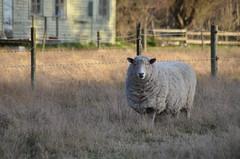 Mouton de Chris