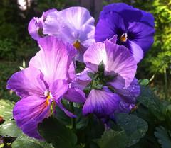 Splash of Pansies, Adelaide_1934 (Rikx) Tags: morning pink flowers light sun sunlight green garden dewdrops droplets purple dew flowerpot pansies morningsun iphone potplant