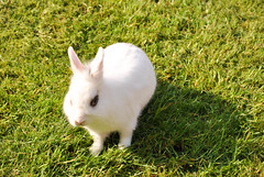 Lapin (Patrick.44) Tags: animaux lapin