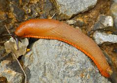 Spanish Slug (Arion vulgaris) (berniedup) Tags: arionvulgaris taxonomy:binomial=arionvulgaris