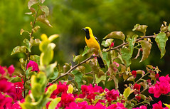 Oriole in the bougainvillea (Photosuze) Tags: flowers nature birds animals flora wildlife aves males orioles avians hoodedorioles