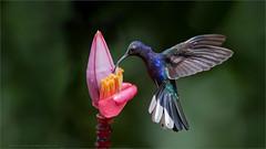 Violet Sabrewing (Raymond J Barlow) Tags: travel bird nature costarica wildlife adventure workshop tours birdinflight raymondbarlowtours