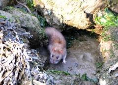 Cute Water Rat (Clare-White) Tags: rat eyes fur tail animal creature small foot ears rocks waterat ijmuiden explore