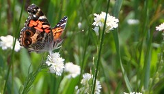"""""""American Painted Lady"""" (Art and Nature-Mike Sherman) Tags: summer fauna butterfly photo michigan meadow lepidoptera mtpleasant americanlady vanessavirginiensis americanpaintedlady centralmichiganuniversity veitswoods dowveitswoods"""