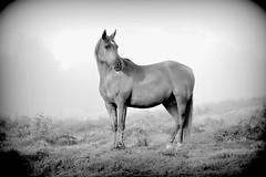 Horse (Photo.Emotion) Tags: ocean sea horse mer seascape water landscape cheval eau seashore plage sans chevaux haflinger frison equitation frisian