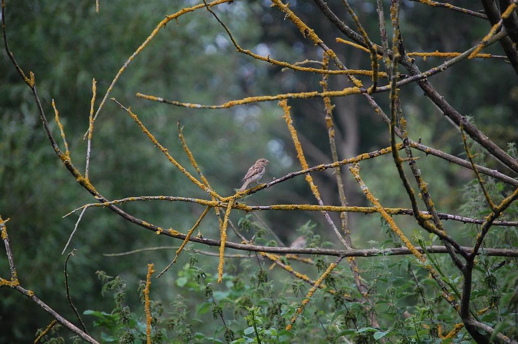 Whitnash Brook - Young Sparrow