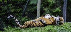 Zoo de Granby 2014 (MichelGuérin) Tags: canada tiger © québec granby tigre 2014 sigma70200 zoodegranby lr5 lightroom5 nikond7100 michelguérin lutilisationsansmapermissionestillégaleusewithout copyrightmichelguérin villedegranby