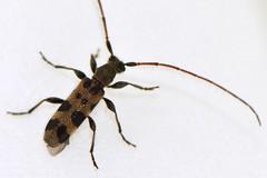 futaobiarage_ds8_2343 (takao-bw) Tags: macro japan insect nikon beetle vr afs coleoptera 105mm cerambycidae micronikkor ifed longicorn longhorned f28g d800e