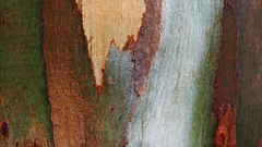 Gum-trees Stripping (eserehtM) Tags: colour tree rain bark eucalypt trunk gumtree judithwright wordsarenotmeaningsforatree gumtreesstripping