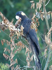 Yellow-tailed Black Cockatoo (di off the wallaby) Tags: bird australia richmond newsouthwales australianbird yellowtailedblackcockatoo calyptorhynchusfunereus