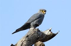 Falco ardosiaceus (Grey Kestrel) (Nick Dean1) Tags: africa bird tanzania safari raptor falcon serengeti birdsofprey birdofprey falconidae serengetinationalpark greyfalcon falcoardosiaceus falconiiformes thewonderfulworldofbirds