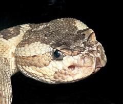 """""""Why?"""" (EcoSnake) Tags: education snakes reptiles littleguy rattlesnakes greatbasinrattlesnake badtelevision crotalusoreganuslutosus"""