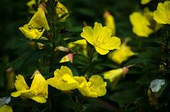 Sundrops (hickamorehackamore) Tags: summer ny newyork native july newyorkstate hobart oenothera sundrops township 2014