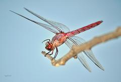 Hi Guyz! (vgphotoz) Tags: hello summer nature phoenix up nikon dragonfly whats flash hey yo insects guys ciao hi goodbye nikkor ola salut saludos dobre zdravo vgphotoz