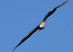White Tailed Sea Eagle (lintonthelion) Tags: sea white scotland eagle wildlife mull tailed