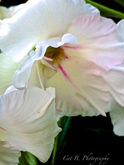 White Gladiolus (Cat B Photography) Tags: flowers summer sun white flower macro nature garden natural snowy bloom blooms gladiolus perennial gladioli iphone whitetingedpink