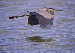 The Spark (Feathered Trail Photos) Tags: heron gulfofmexico florida gbh mfcc floridabirds avianexcellence fabuleuse