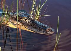 Alligator Head Shot (Jay Costello) Tags: nature florida reptile wildlife teeth alligator everglades hunter aquatic predator scaley