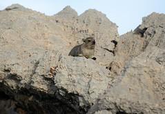 Looking More Relaxed (zenseas) Tags: africa hyrax namibia etosha dolomite rockhyrax dassie procaviacapensis etoshanationalpark dolomitecamp