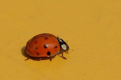 Ladybug (Rene Mensen) Tags: orange macro yellow nikon rene micro ladybug mensen d5100