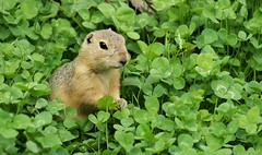 In the green (Kim's Pics :)) Tags: park wild summer canada color cute green winnipeg critter ngc manitoba npc clover munching groundsquirrel