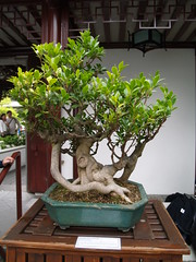 150 Year Old Penjing Tree (robotbrainz) Tags: canada vancouver chinatown bc britishcolumbia drsunyatsenclassicalchinesegarden penjing bychristine olympusevolte500