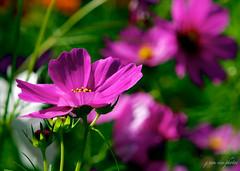Garden Cosmos ~ Cosmos bipinnatus ~ Michigan (j van cise photos) Tags: pink flower garden blossom michigan bloom cosmosbipinnatus gardencosmos afsnikkor70200mmf28gedvrii nikond7100 pressltoenlarge