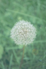Wishes of Whimsy (se.lisa86) Tags: summer green nature whimsy bokeh dandelion wishes understated wish subtle subdued