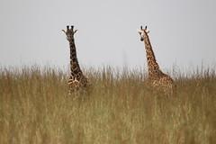 IMG_4262 (Jarod Burns) Tags: africa nationalpark kenya wildlife nairobi safari giraffe nairobinationalpark
