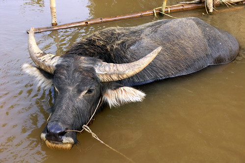 Myanmar - Inle Lake - Water Buffalo - 3